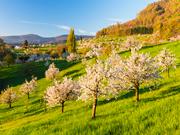 Cherryblossom-Svizzera