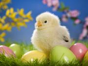 Pulcini-Pasqua