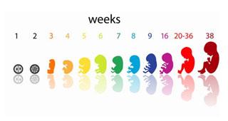 Calendario Gestazionale Settimane.Gravidanza Settimana Per Settimana